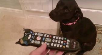 Mostra al suo cane il telecomando masticato: la reazione è esilarante!