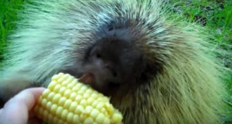 A woman gives a porcupine corn on the cob --- hear his response!