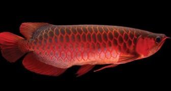 Lo chiamano il Pesce Dragone: ecco a voi il pesce d'acquario più costoso al mondo