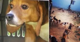 156 beagle salvados de laboratorios ven el sol por primera vez: el momento es emocionante