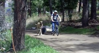 A Great Dane puppy runs while its owner cycles --- and when it gets tired?