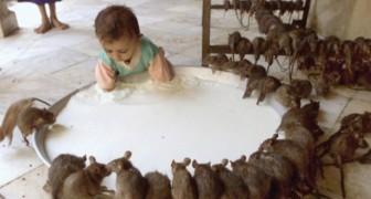 Der unglaubliche indische Tempel in dem man 20 tausend heilige Ratten anbetet