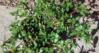 Você tem esta planta em seu jardim? Então é melhor ir atrás de uma...
