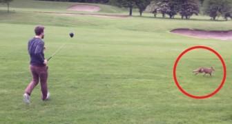 Uma raposa quer roubar o equipamento do jogador de golfe: a batalha é hilária