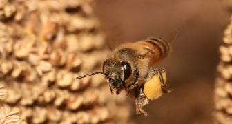 Pourquoi le nombre d'abeilles dans le monde réduit progressivement - et radicalement?