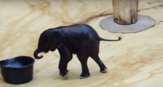 A tiny elephant plays with a basin full of water --- its antics are hilarious!