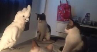 Das lustigste Video eines sprechenden Papageien: hört was er seinen Freunden, den Katzen, sagt!