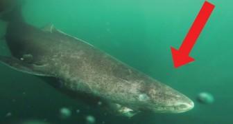 Deze haai kan een gewicht van een ton bereiken, maar hij weet met een ander record indruk te maken!