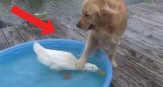 Il cane e l'anatra: l'improbabile amicizia che vi strapperà un sorriso