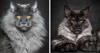 Maestosi ed eleganti: ecco gli incredibili ritratti del gatto americano per eccellenza
