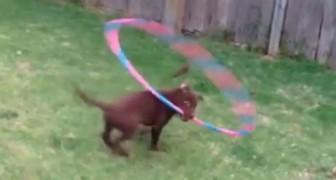 Il cane prende in bocca l'hula hoop. Cosa fa subito dopo? Da non credere!