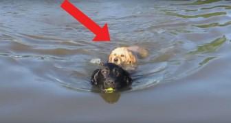 De eerste duik van een pup in het water is schattig, maar wat zijn vriend doet is nog schattiger!