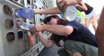 Sie nähern sich mit Wasserflaschen einem LKW voller Schweine: was dann passiert ist bewegend