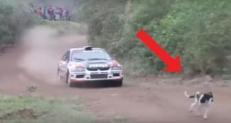 Ein Hund spaziert auf einer Rally-Bahn und sein Schicksal scheint besiegelt zu sein, aber der Rennfahrer macht ein erstaunliches Manöver