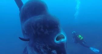 Tijdens een duik in de diepte komt hij deze GIGANTISCHE vis tegen... spectaculair!