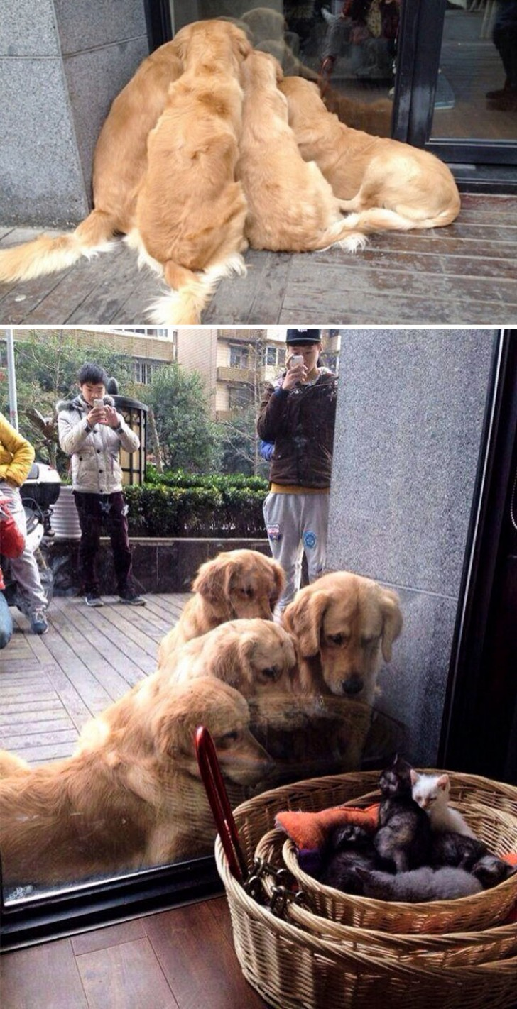 26 volte in cui i golden retriever hanno dimostrato di for Cani giocherelloni