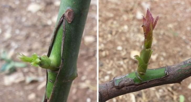 Innestare gli alberi da frutto pi facile di quanto for Quando piantare alberi da frutto