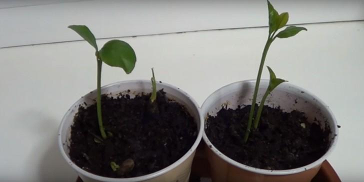 Apprenez planter les p pins de citron pour donner - Planter pepin citron ...
