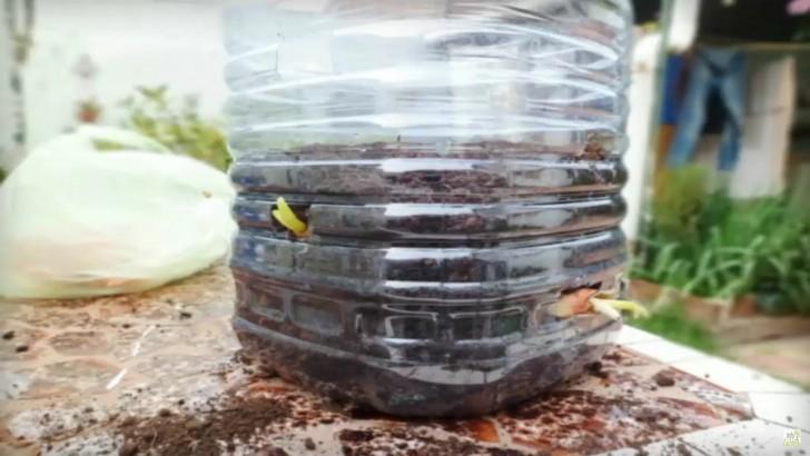 Coltivare cipolle tutto l 39 anno in un appartamento ecco for Coltivare cipolle