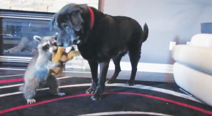 Il procione e il cane si contendono il peluche: ecco la 'Lite' più dolce che ci sia!