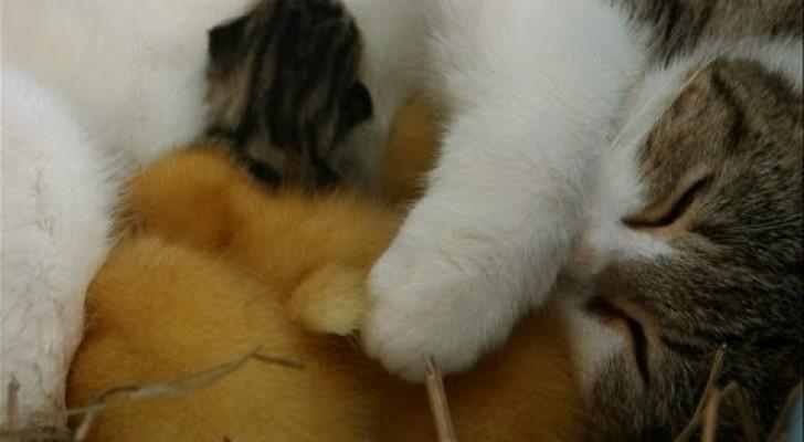 Il dolcissimo gatto che adotta le anatre