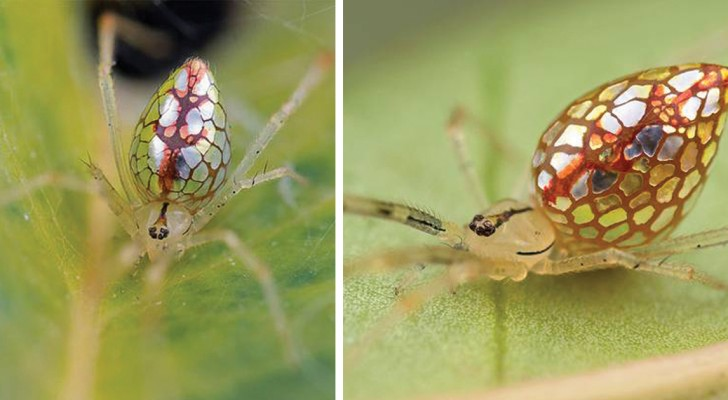 Un fotografo ha trascorso anni sulle sue tracce: ecco a voi lo scintillante ragno specchio