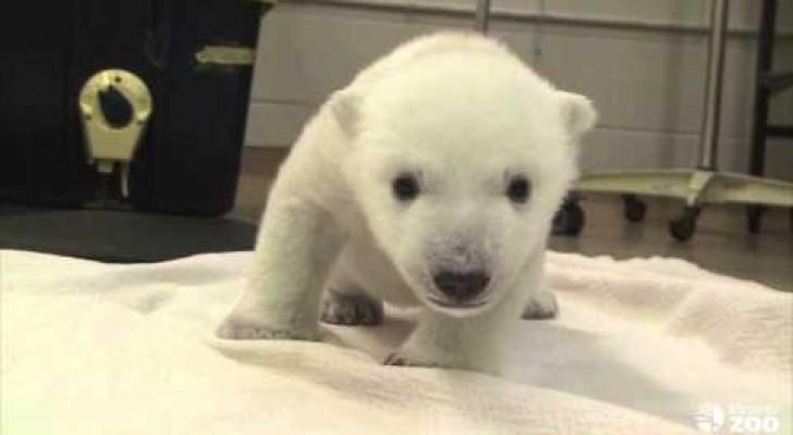 Die ersten Schritte eines Eisbären