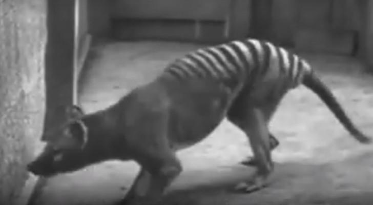 Animales en extincion: esta es una rara registracion de especie que no podermos ver nunca mas en vivo