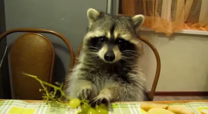 Regarder (et écouter) ce raton laveur en train de manger du raisin vous fera sourire!