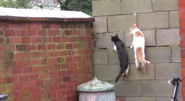 Klaar voor de start, af: de timing van deze twee katten lijkt opzettelijk!