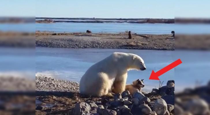 Sie filmen den Eisbären zusammen mit dem Hund: ihr Verhalten ist unerwartet aber angenehm