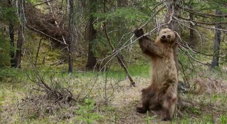 Bären die sich ihr Fell kratzen: ein zwerchfellerschütterndes Video mit einer PERFEKTEN Musik