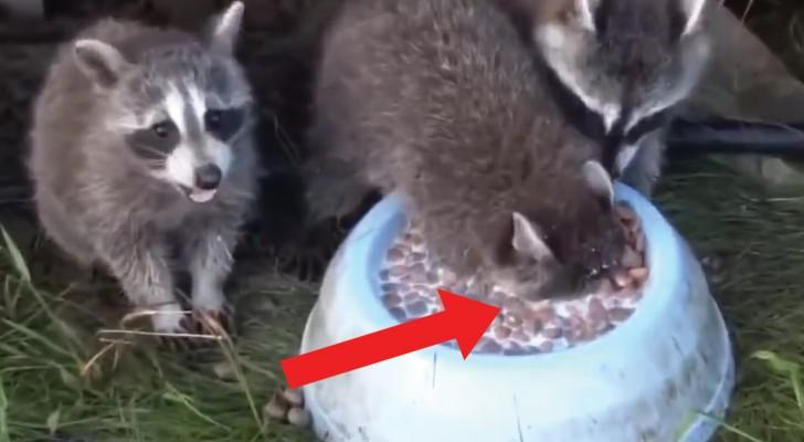 Le raton laveur semble s'étouffer: ce qu'il fait vraiment va vous SURPRENDRE!