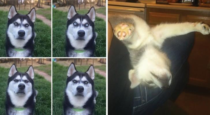 Schattige husky's: dit zijn een aantal grappige foto's die in omloop zijn van dit sympathieke ras!