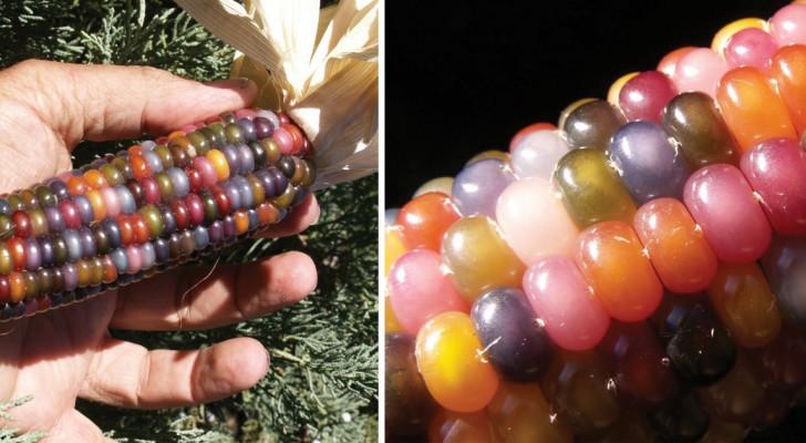 Queste pannocchie arcobaleno sono naturali al 100%. Non ci credete? Ecco la loro incredibile storia