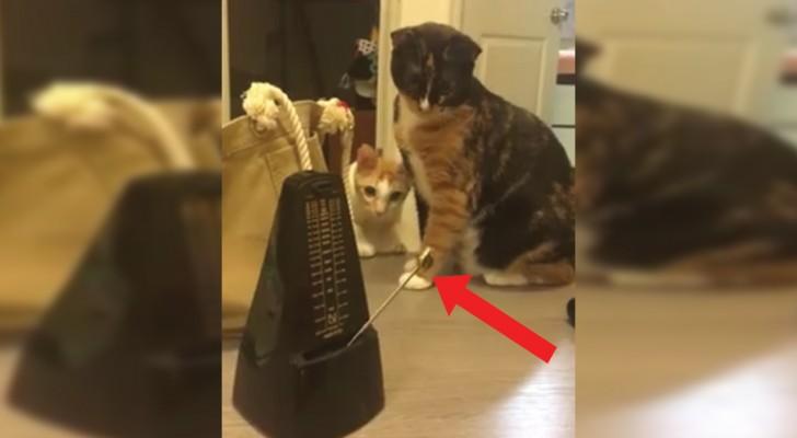 Iemand heeft de metronoom in werking gesteld: de reactie van de katten is te gek!