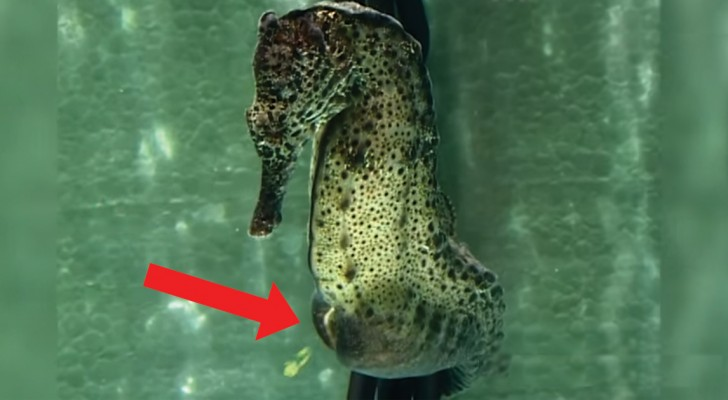 Amazing images of a male seahorse giving birth!