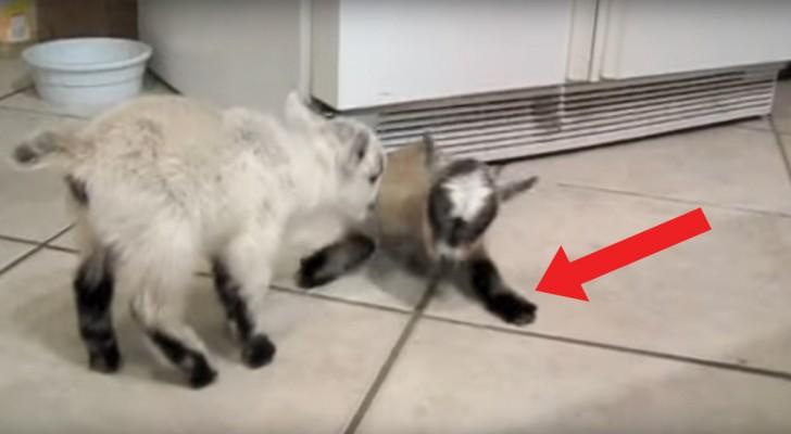 Deze tamme geitjes zijn lekker aan het spelen: de gladde vloer maakt het spel nog leuker!
