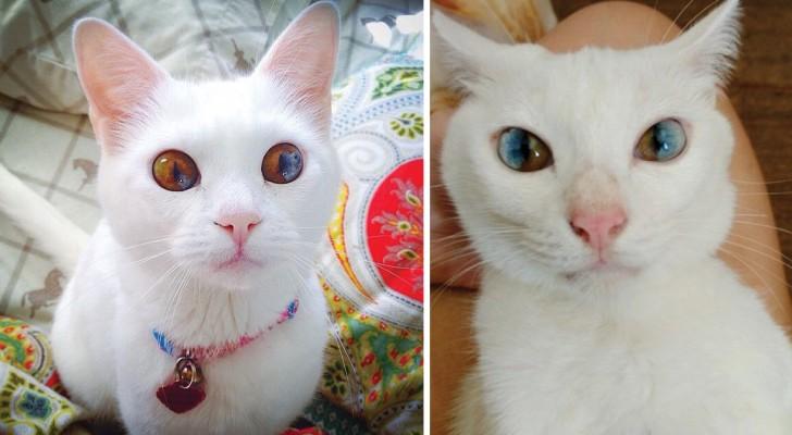 Eterocromia settoriale: gli occhi di questi gatti vi faranno innamorare all'istante