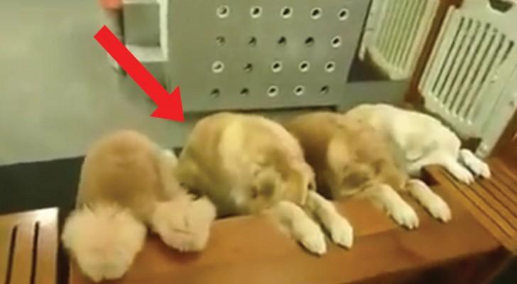 In questa casa ogni pasto inizia così: ecco i cani più educati al mondo