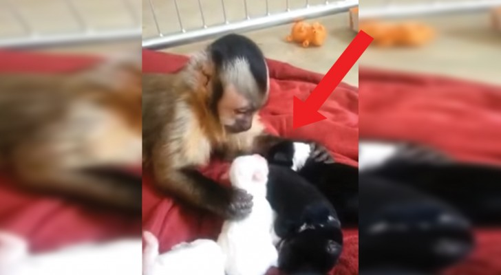 Dit aapje leeft met een nest honden: de manier waarop hij de pups aanhaalt is te zoet!