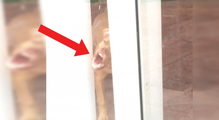 Deze hond wil graag naar buiten, maar de schuifdeur is dicht: de manier waarop hij de deur open probeert te krijgen is hilarisch!