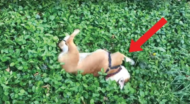 Risale la collina e si prepara a una discesa spericolata: questo Bulldog si diverte anche da solo!