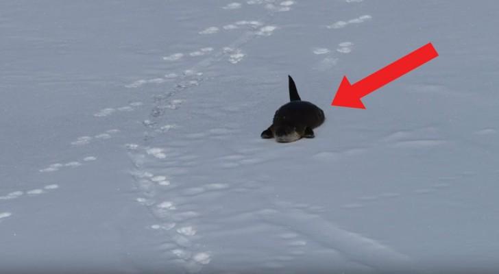Perché camminare quando si può sciare? Questa lontra sembra pensarla proprio così!