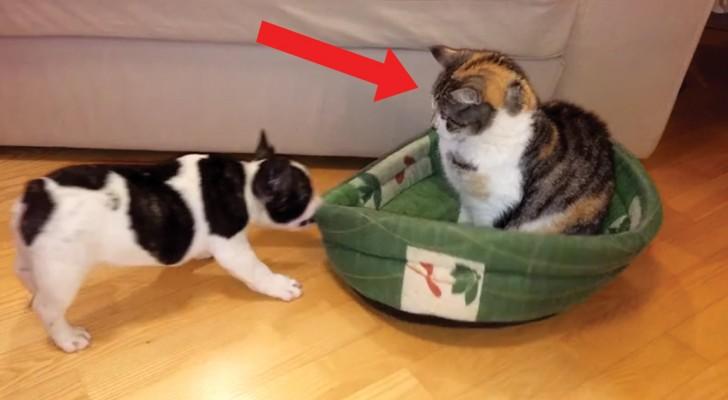 Deze kat heeft het hondenmandje in beslag genomen: de pogingen van het hondje om zijn mandje terug te winnen zijn hilarisch!