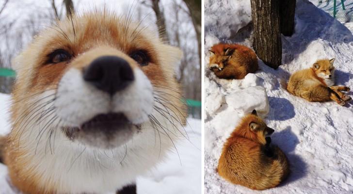 Fare una passeggiata osservando delle bellissime volpi: ecco il rifugio che lo permette