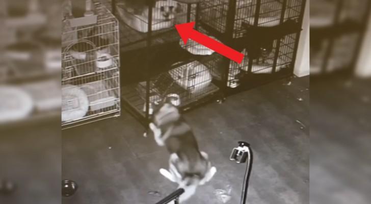 Notte dal veterinario: questo husky non ci sta e organizza la fuga... Di tutti!