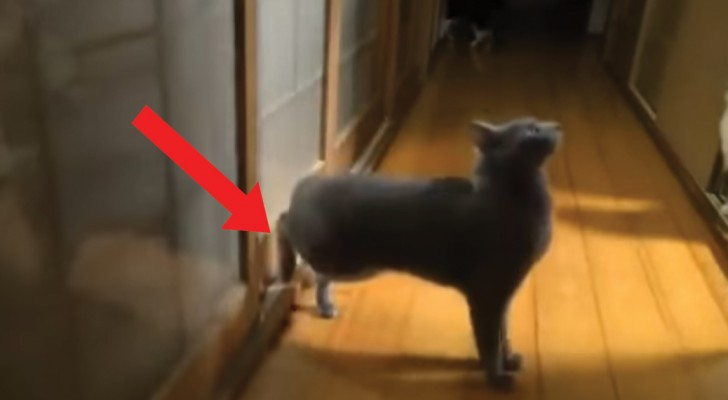 A cat threatens to kick a door down! Incredible but true!