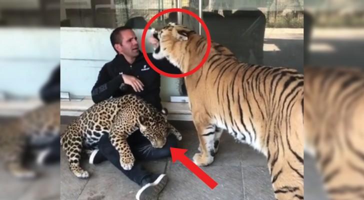 Tigre e giaguaro vogliono giocare: l'operatore cerca di accontentarli senza rimetterci gli arti!
