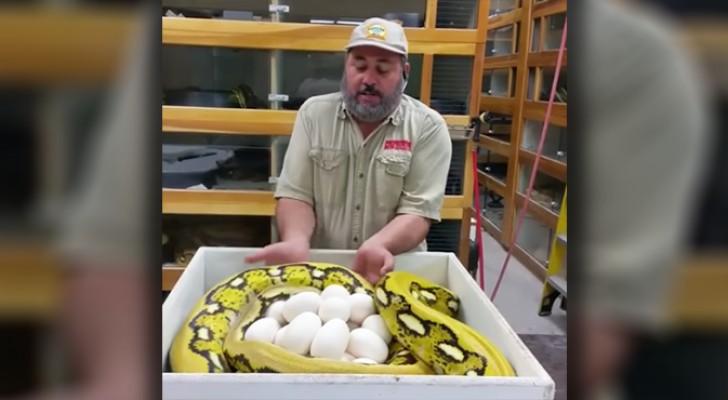 Er versucht, die Eier der Schlange zu nehmen, aber bekommt dann einen Denkzettel
